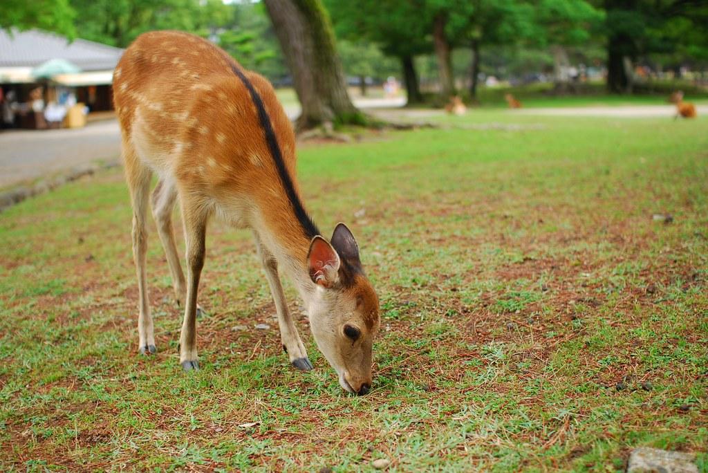 草を食む若鹿
