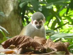 animal, monkey, mammal, squirrel monkey, fauna, new world monkey, jungle, wildlife,