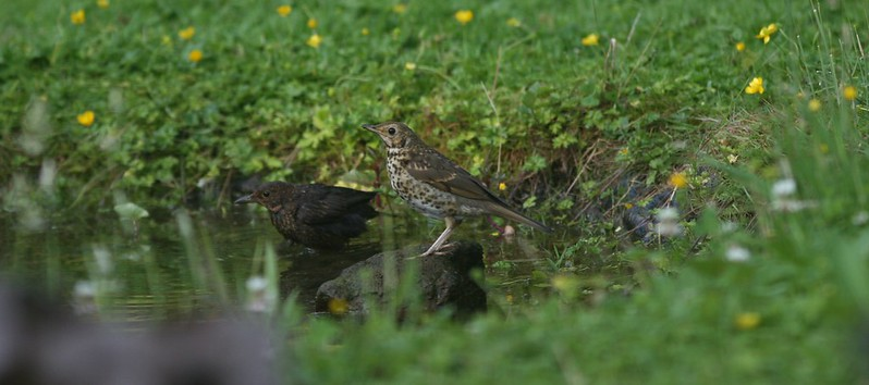Blackbird and Song Thrush