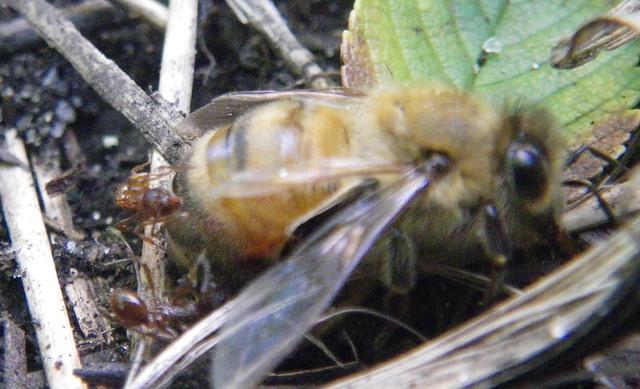 weak / dead bee under ant attack