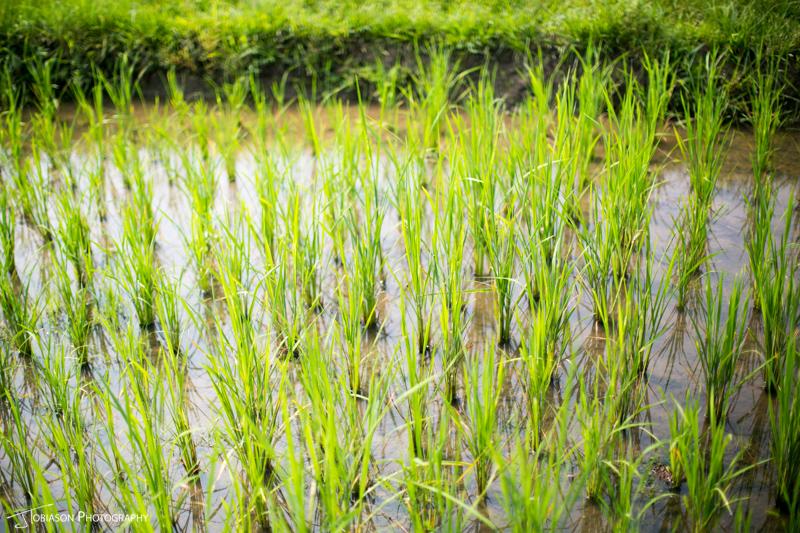 rice field laos