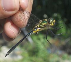 Balkan Emerald Dragonfly Montenegro by davidearlgray