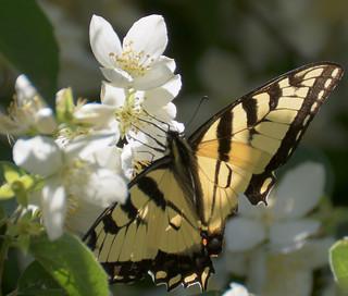 "butterfly ""Eastern Tiger Swallowtail"""