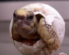 剛孵化的緬甸星龜。(圖片來源:台北市立動物園)。