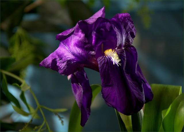 """""""Lirio (Iris spp)"""""""