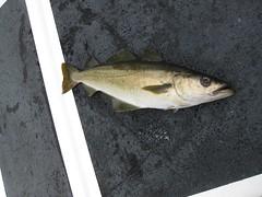 animal, fish, cod, fish,