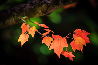 Fiery Red Leaves