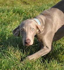 labrador retriever(0.0), puppy(0.0), dog breed(1.0), animal(1.0), blue lacy(1.0), dog(1.0), pet(1.0), weimaraner(1.0), carnivoran(1.0),