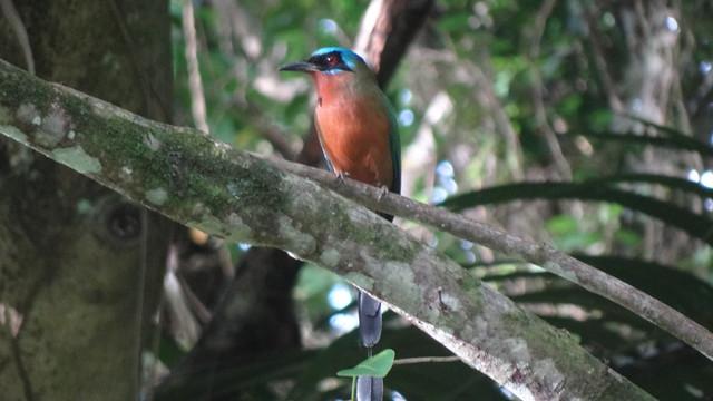 Trinidad Motmot