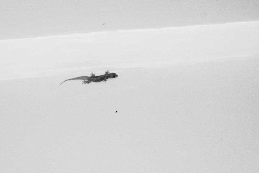 gecko in sri lanka