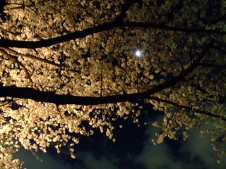 千鳥ヶ淵・桜4