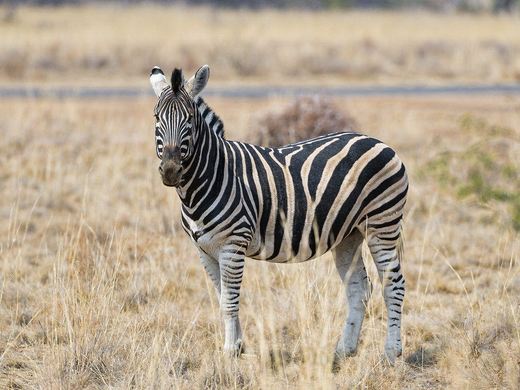 Zebra posing in the savannah