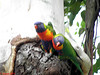 024 Rainbow Lorikeet pair by Jen 64