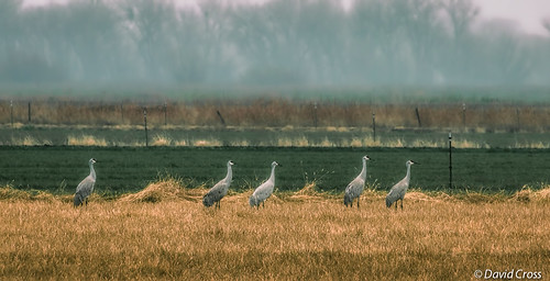 A Strip of Sand Hill Cranes Chilling in a Field