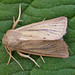 Small Wainscot - Photo (c) Tony Morris, some rights reserved (CC BY-NC)