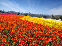 The Flower Fields - A Must See Destination