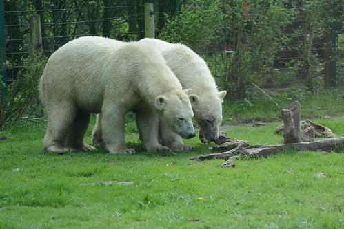 Eisbären Noordje und Pixel im Dierenrijk in Mierlo