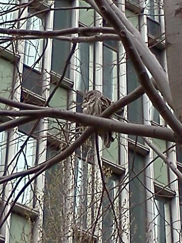 #47 Barred Owl (Strix varia)