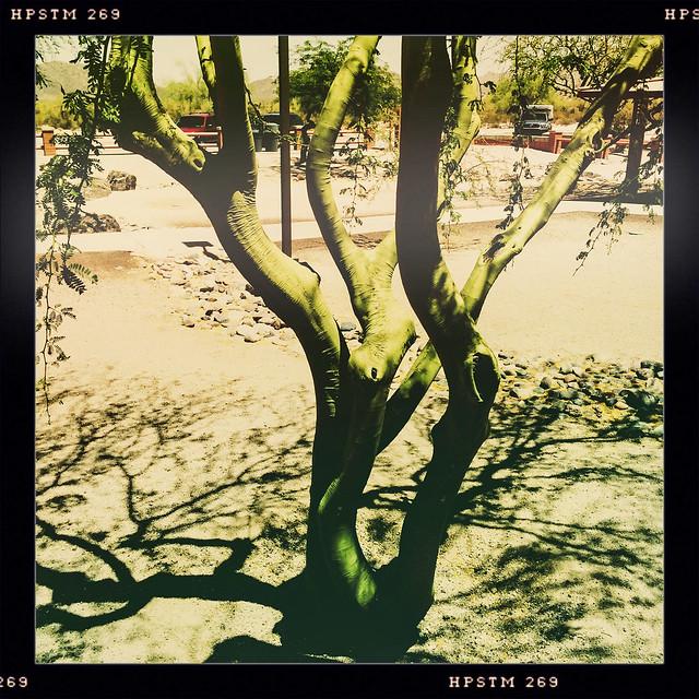 Palo Verde - Green Stick