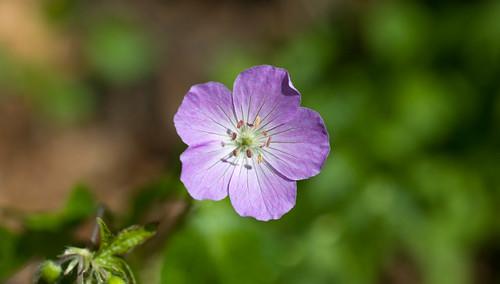 DSC_8262 geranium