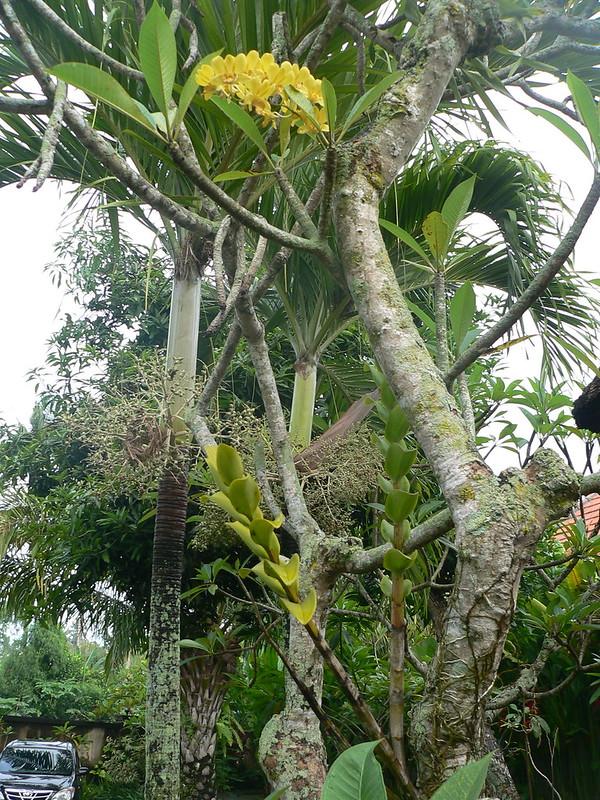 Dendrobium sp. et autres orchidées [id. non terminée] 16204117598_357d9e963a_c