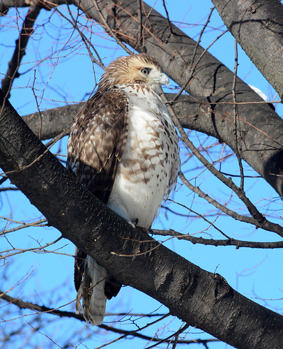 Riverside Red-Tail - 5147