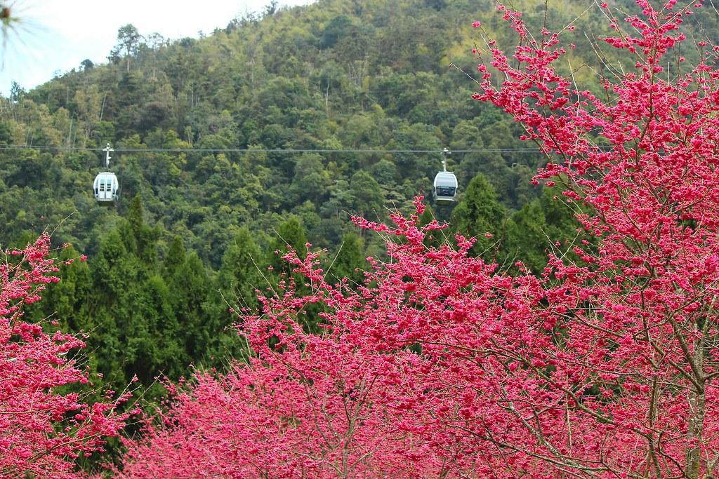 九族櫻花祭 (12)