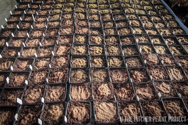 Sarracenia Seeds