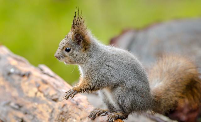 sacce22 - wet Squirrel 2