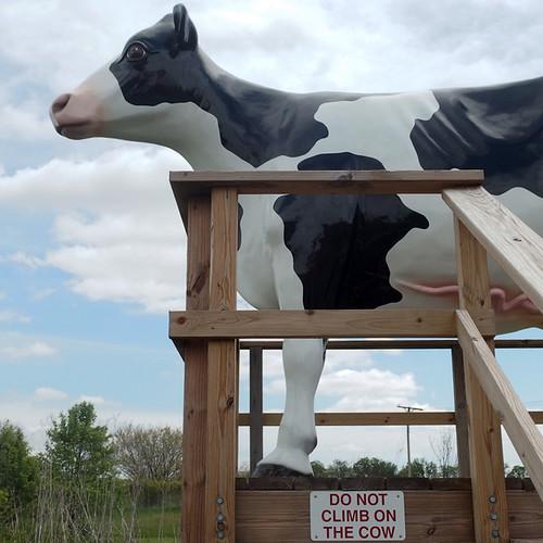No Climb Cow