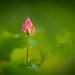 Lotus  .  荷 . 953