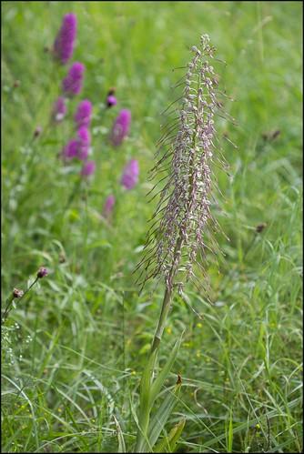 Orchis bouc (Himantoglossum hircinum)