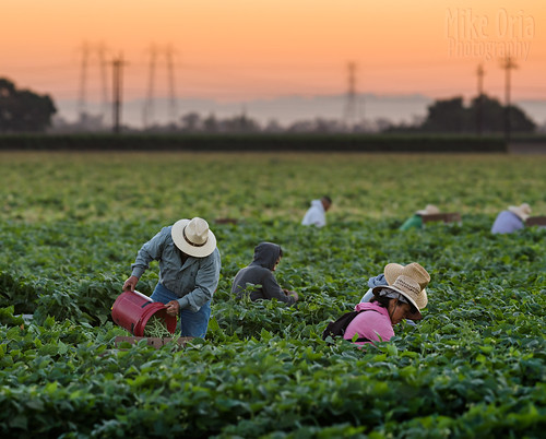 mikeoria 645 645z harvest bean greenbeangreenbeans farm produce california sunrise workers field laborers bucket sky twilight sunset brentwood contracosta county published eastcountywelcomeguide magazine