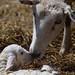 1328 ram lamb