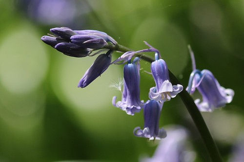 Bluebell flower and bud's