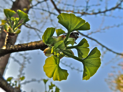 Ginkgo Leaf Buds are Bursting .........(127/365) by Irene_A_