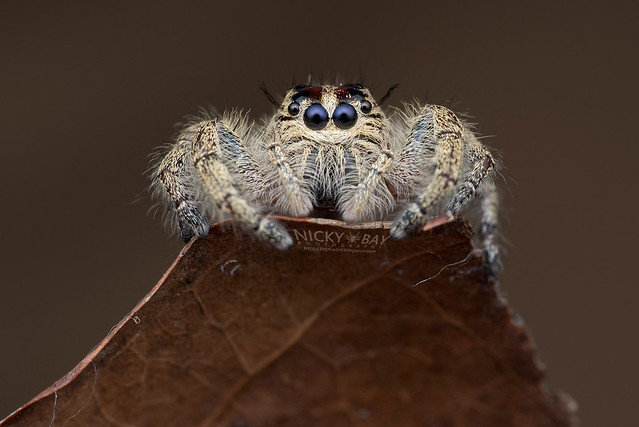 Heavy Jumper (Hyllus sp.) - DSC_1128b