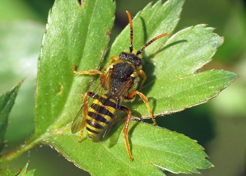Cuckoo Bee - Nomada sp.