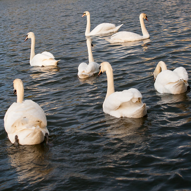 Seven Swans A Swimming | Flickr - Photo Sharing!
