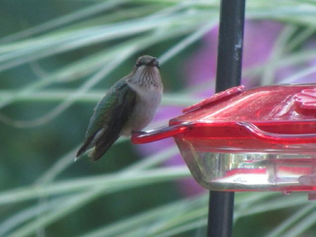 Immature Hummingbird 7:24:11