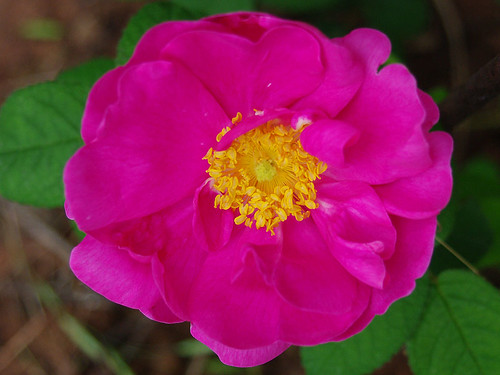 Rosa gallica officinallis