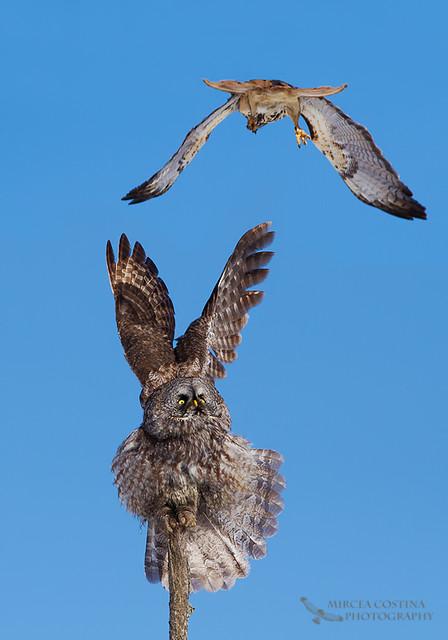 Hawk vs owl - photo#8