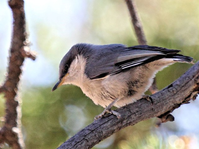 Pygmy Nuthatch 3-20130617