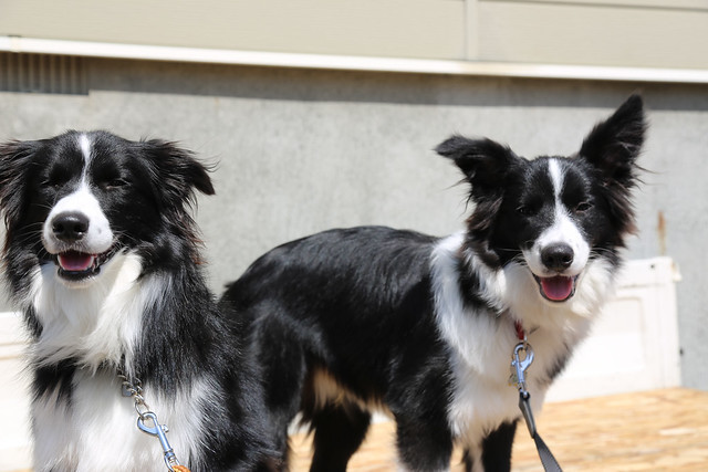 Border Collie Harusame&Anon 3