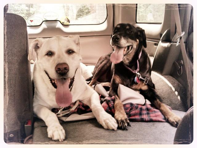 #rescueddogs #dogs #mybabies #LapdogCreations