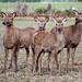 Red Deer. New Zealand,