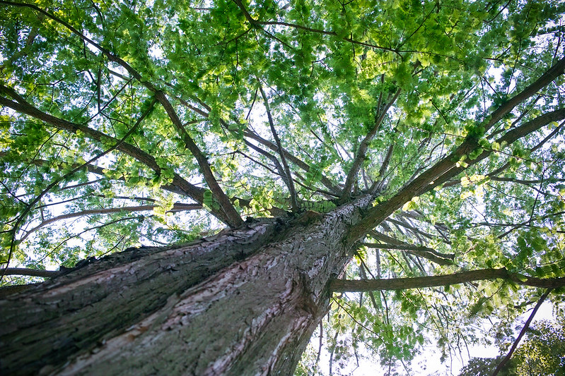 Foveon image of tree leaves from below
