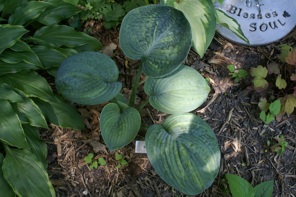 Hosta 'Love Spat' (11)-004