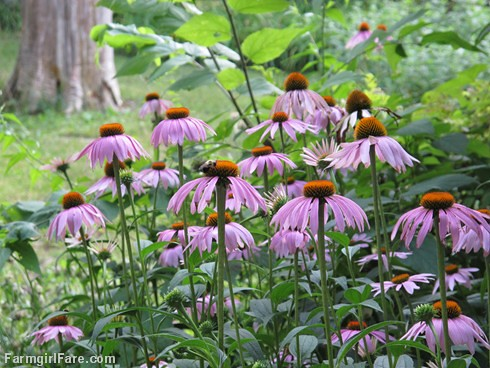 Farmgirl fare friday farm color pretty in purple coneflower pink - Tough perennial bloomers drought insect and pest resistant flowers ...
