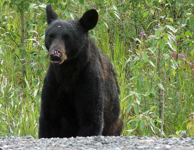 black-bear-yukon